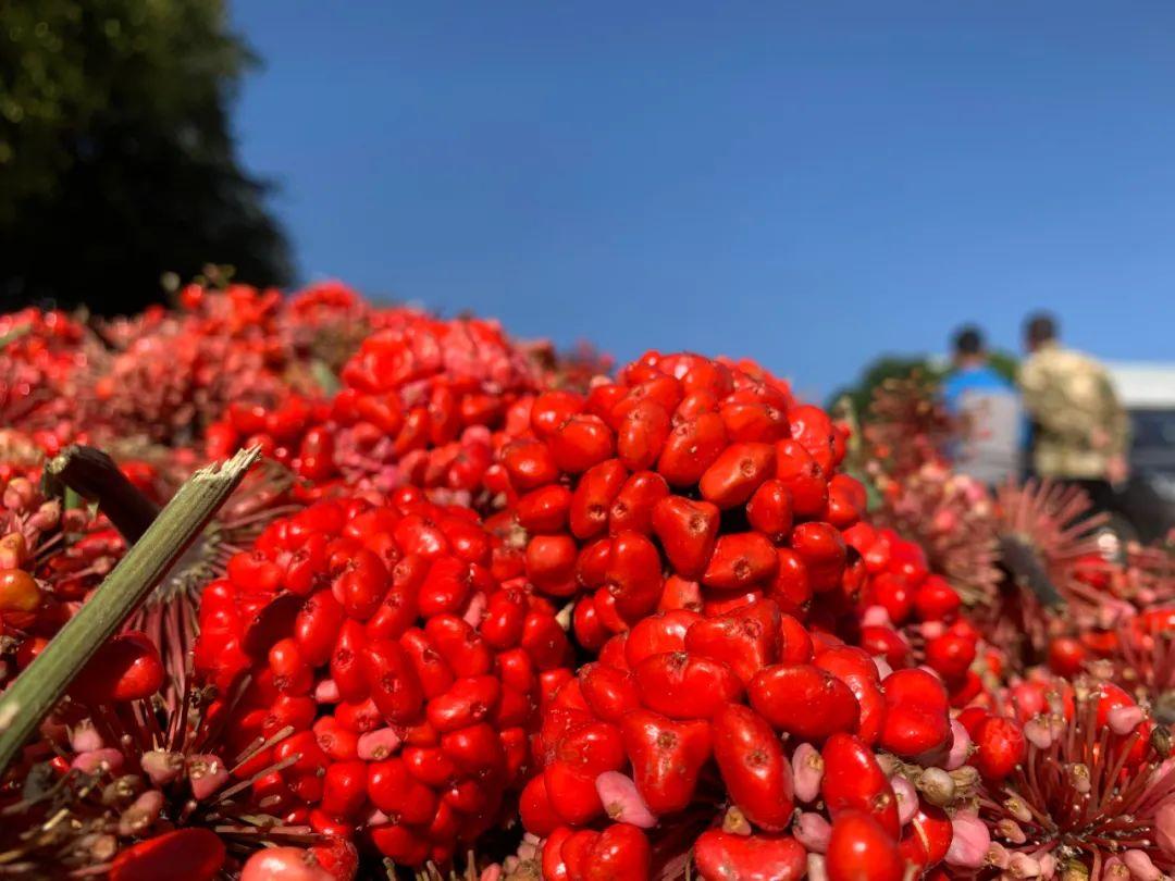 三七红籽上市,最高28至35元一斤!